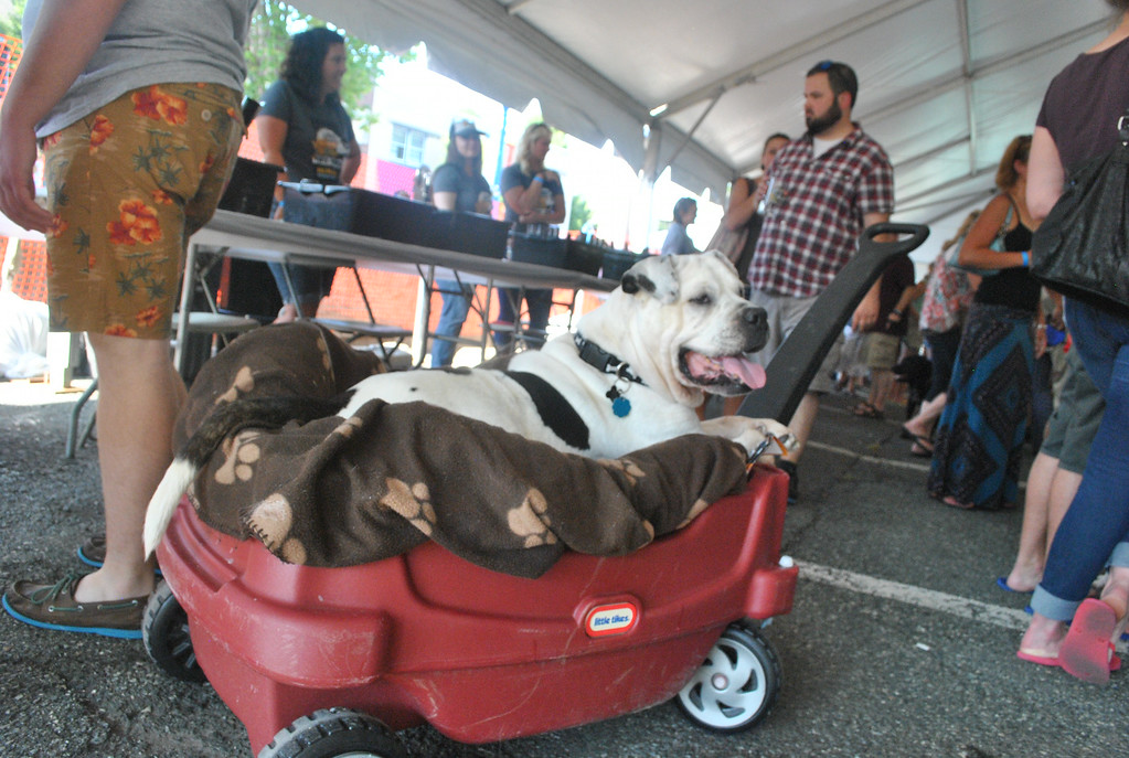 Description of . Pepa relaxes and watches the crowds during the inaugural Pints for Pups event in Phoenixville Aug. 9.